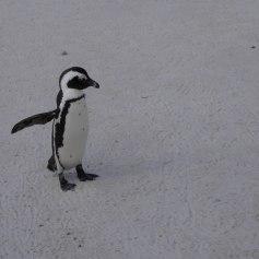 pingouins1