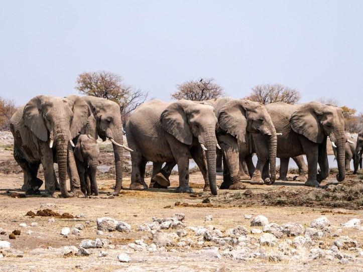 ELEPHANTS FAMILLE4